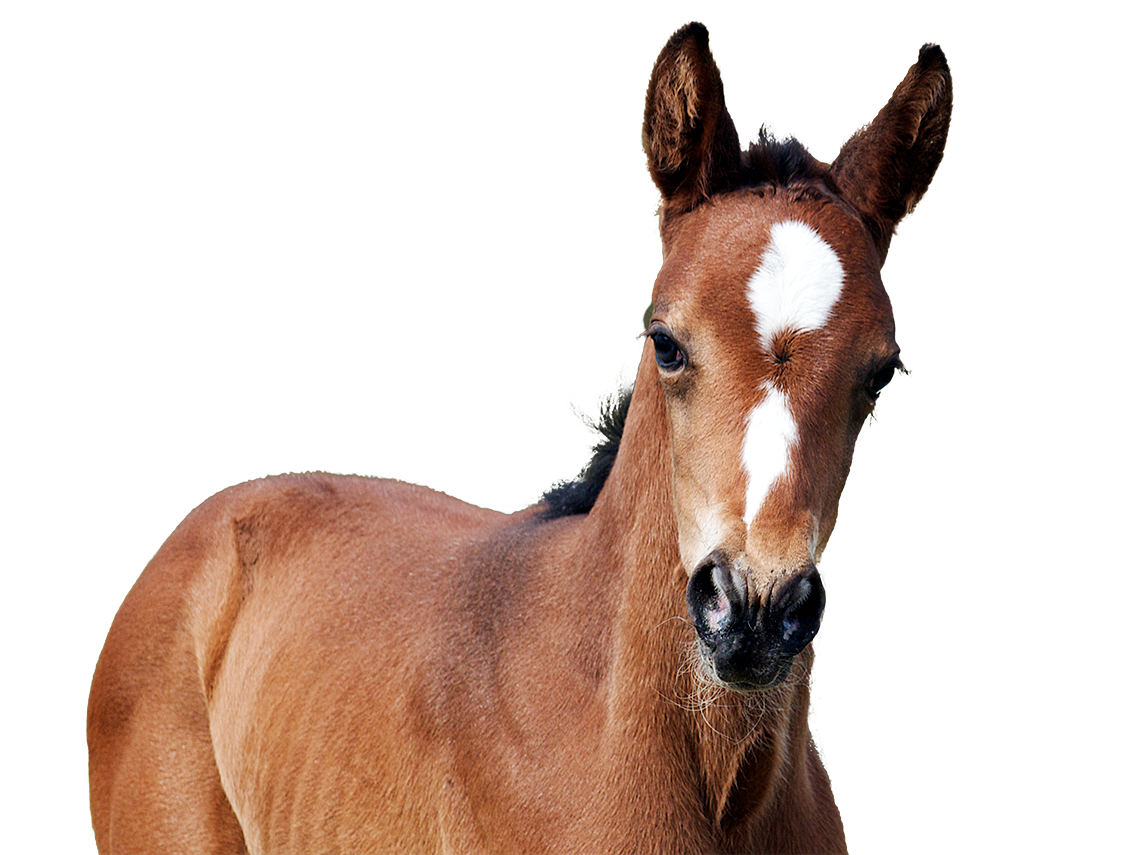 Foal elevage